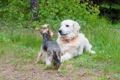 两条狗-金毛猎犬和约克夏狗在步行见面了 免版税库存图片