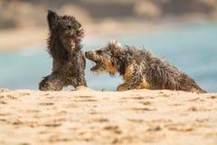 两条狗playn 免版税库存图片