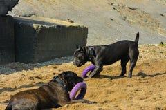 两条狗Rottweiler在使用与玩具的海的水中 库存照片