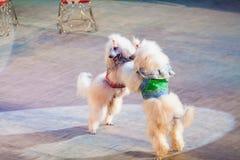 两条白色狗在马戏竞技场跳舞 免版税库存图片