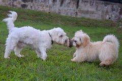 两条白色狗戏剧在庭院里 免版税图库摄影