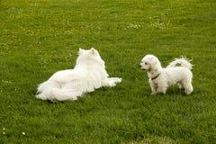 两条白色狗 免版税库存照片