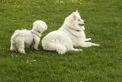 两条白色狗 库存照片