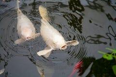 两条白色鱼鲤属卡皮奥游泳在池塘 库存照片