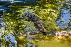 两条盐水鳄鱼在水中 免版税库存图片