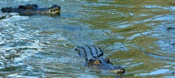 两条盐水鳄鱼游泳在河 免版税图库摄影