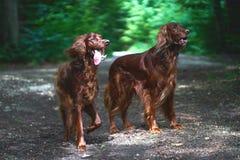 两条红色爱尔兰人的特定装置狗在森林里 免版税库存照片