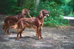 两条红色爱尔兰人的特定装置狗在森林里 免版税库存图片