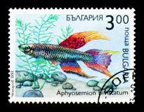 两条纹锵鱼Aphyosemion bivittatum、植物群和动物区系s 图库摄影
