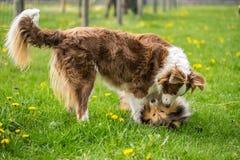 两条美丽的大牧羊犬狗在绿草被演奏 库存照片