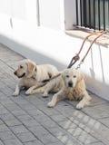 两条美丽的聪明的白色狗 免版税库存图片