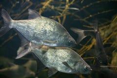 两条美丽的鱼 免版税库存照片