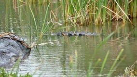两条美国短吻鳄、鳄鱼mississippiensis和一只共同的Gallinule鸟,Gallinula galeata 股票视频