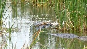两条美国短吻鳄,鳄鱼mississippiensis,爬行在沼泽中水  股票录像