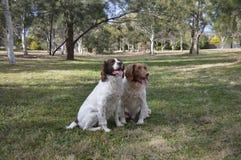 两条英国斯伯林格西班牙猎狗狗 库存图片