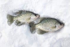 两条莓鲈翻车鱼被捉住的冰渔 库存图片