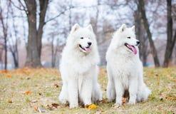 两条萨莫耶特人狗在秋天公园 免版税库存照片
