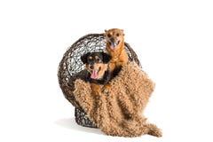 两条被混合的品种抢救狗摆在 免版税库存图片