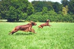 两条跑在草的狗爱尔兰人的特定装置在夏天 免版税库存照片