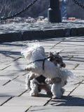 两条跳舞的狗在公园 库存图片