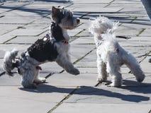 两条跳舞的狗在公园 图库摄影