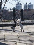 两条跳舞的狗在公园 免版税库存照片
