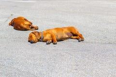 两条达克斯猎犬狗在热天气的柏油碎石地面街道上睡觉 库存照片