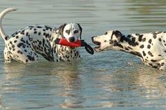 两条达尔马希亚狗在与玩具的水中 免版税库存图片