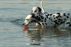 两条达尔马希亚狗在与玩具的水中 库存照片