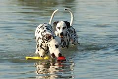 两条达尔马希亚狗在与玩具的水中 免版税库存照片