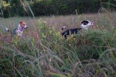 两条逗人喜爱狗使用 库存照片