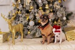 两条逗人喜爱的奇瓦瓦狗狗,圣诞节概念 免版税库存照片
