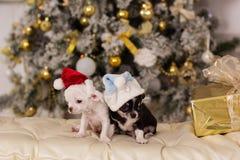 两条逗人喜爱的奇瓦瓦狗狗,圣诞节概念 库存图片