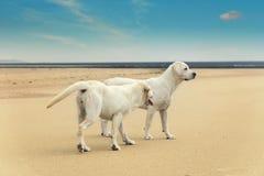 两条逗人喜爱的幼小狗使用在海滩在夏天 免版税库存图片