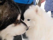 两条逗人喜爱的狗为步行见面了在冬天公园 图库摄影