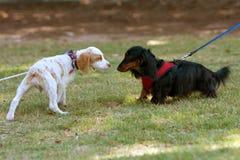 两条逗人喜爱的狗嗅和检查自己  库存照片