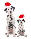 两条逗人喜爱的达尔马提亚狗狗生和戴圣诞老人` s帽子的儿子 库存图片