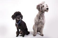 两条逗人喜爱的长卷毛狗 免版税库存图片