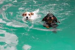两条逗人喜爱滑稽狗游泳 库存图片