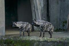 两条镶边鬣狗积极地看 免版税库存照片