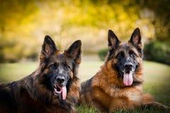 两条长发红色和黑德国牧羊犬狗 图库摄影