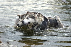 两条阿拉斯加的爱斯基摩狗狗游泳 免版税库存照片
