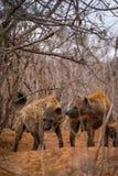 两条鬣狗在布什,克鲁格公园,南非 免版税库存照片