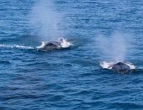 两条鲸鱼呼气 库存照片