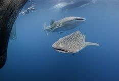 两条鲸鲨 库存照片