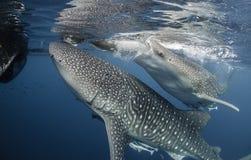两条鲸鲨 免版税库存照片