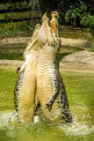 两条鳄鱼一起跳跃在水外面 库存图片