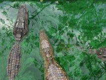 两条鳄鱼在绿色水中 免版税图库摄影