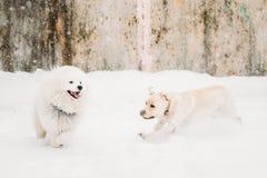 两条滑稽的狗-跑拉布拉多的狗和的萨莫耶特人使用和室外在雪, 免版税库存照片