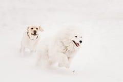 两条滑稽的狗-跑拉布拉多的狗和的萨莫耶特人使用和室外在雪, 免版税库存图片